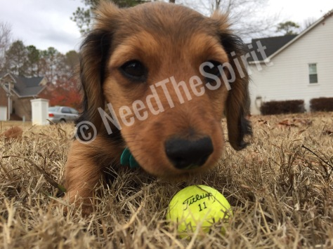 Doxie playing
